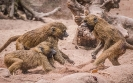 Kampf der Affen