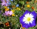 Blume in