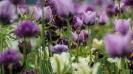 Eine Tulpe unter Tulpen