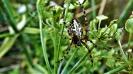 Eichblattspinne