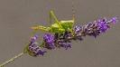Grille auf Lavendel